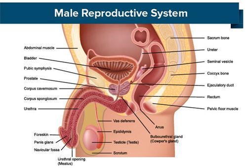 procesul de erectie a organelor masculine)