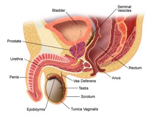 penis și urinare)
