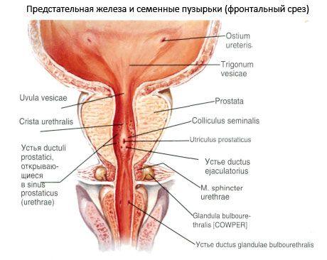 este posibil să dezgoliți penisul?)