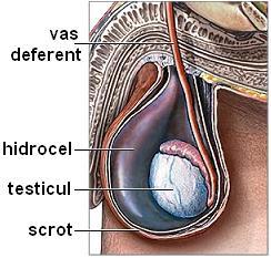 nașterea penisului și a testiculelor)