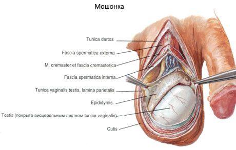 erecția epididimului)