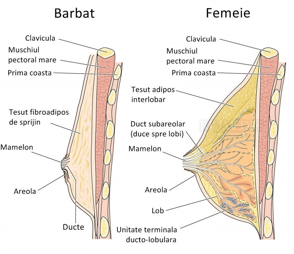 când apare erecția mamelonului)