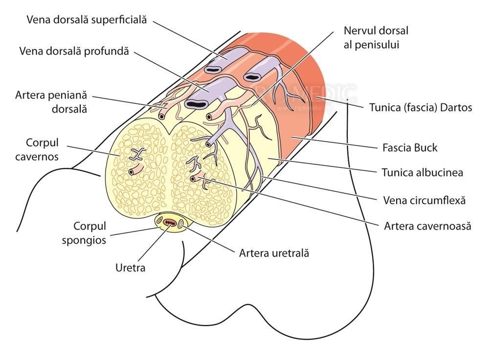 părți ale penisului)