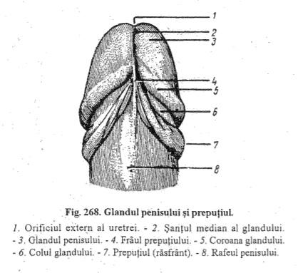 baza penisului unde