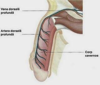 penisului și mărirea acestuia