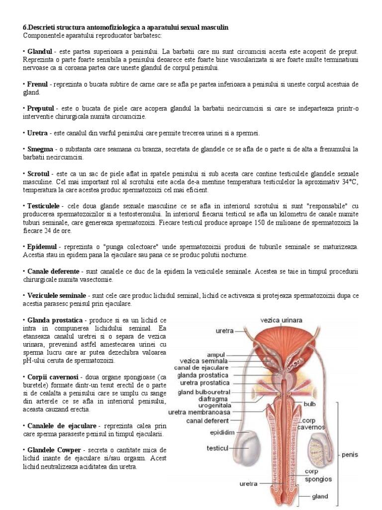 penisului și structura acestuia