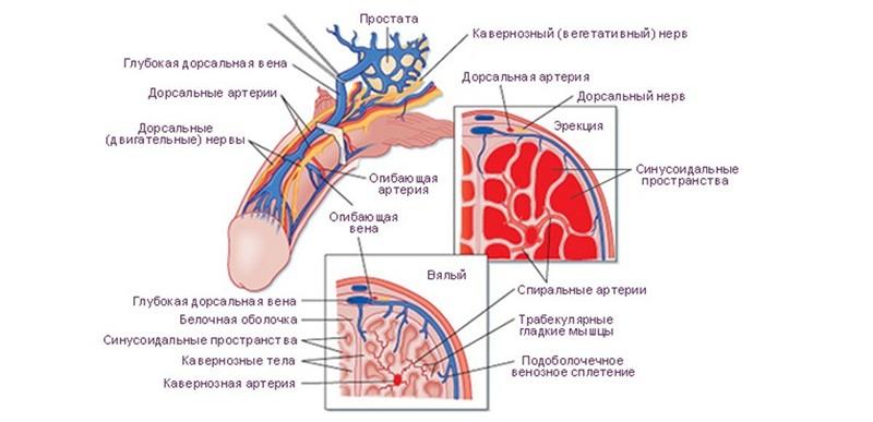 presiune crescută în timpul erecției)