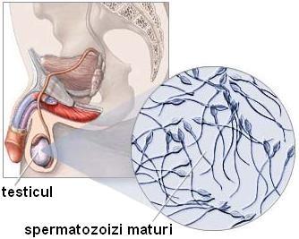 în timpul unei erecții, testiculul intră)