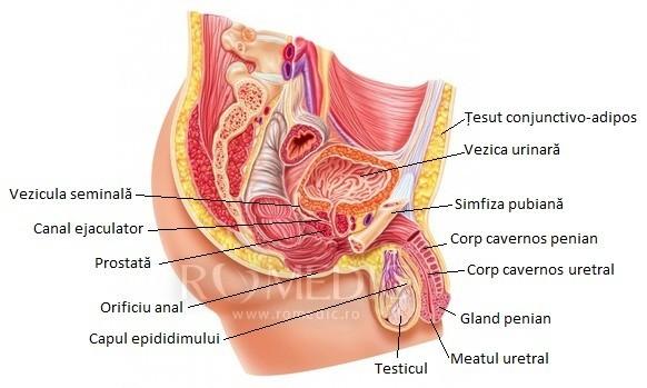 organele genitale masculine și erecția medicamente care afectează erecția