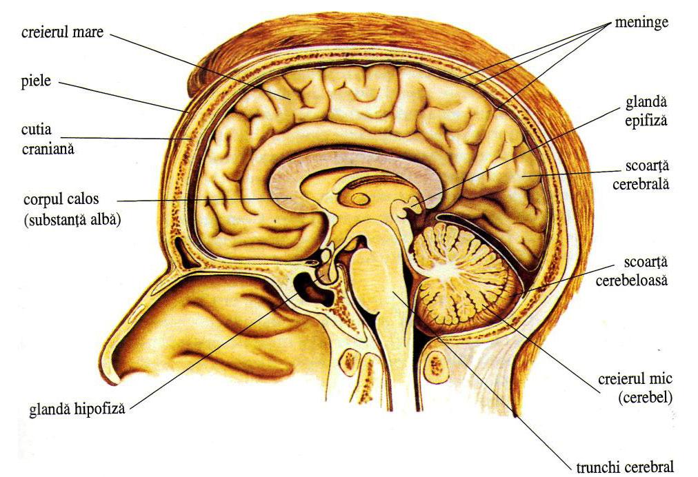 nervii penisului