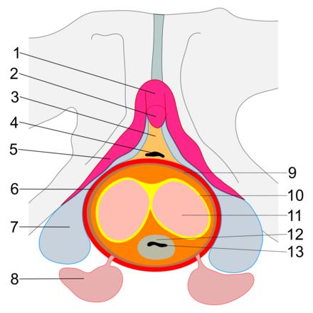 erecție la bărbați la 40 de ani