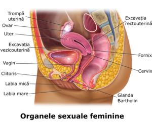 organele genitale masculine și erecția cum să crească un penis mare