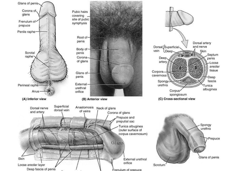 cum se introduce corect penisul în