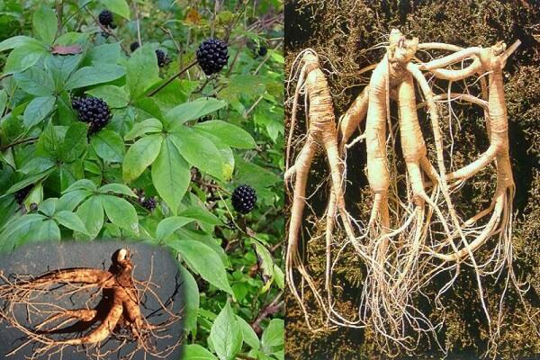 ce plante îmbunătățesc erecția)
