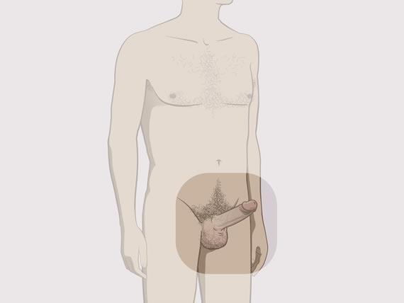 pubertate în penis prostata reduce erectia