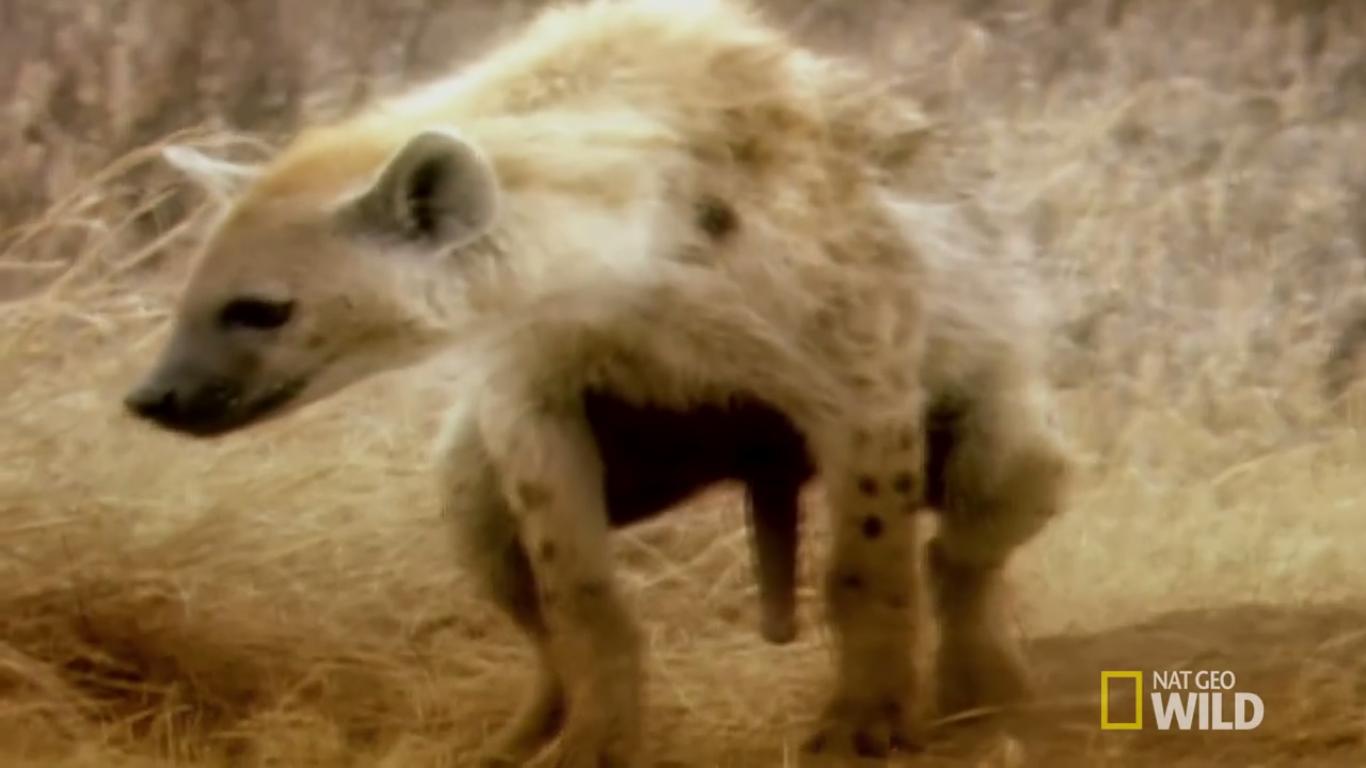 Hiena maro sau maro este un prădător african. Ce mănâncă hienele