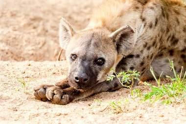 pseudo penis în hiene)
