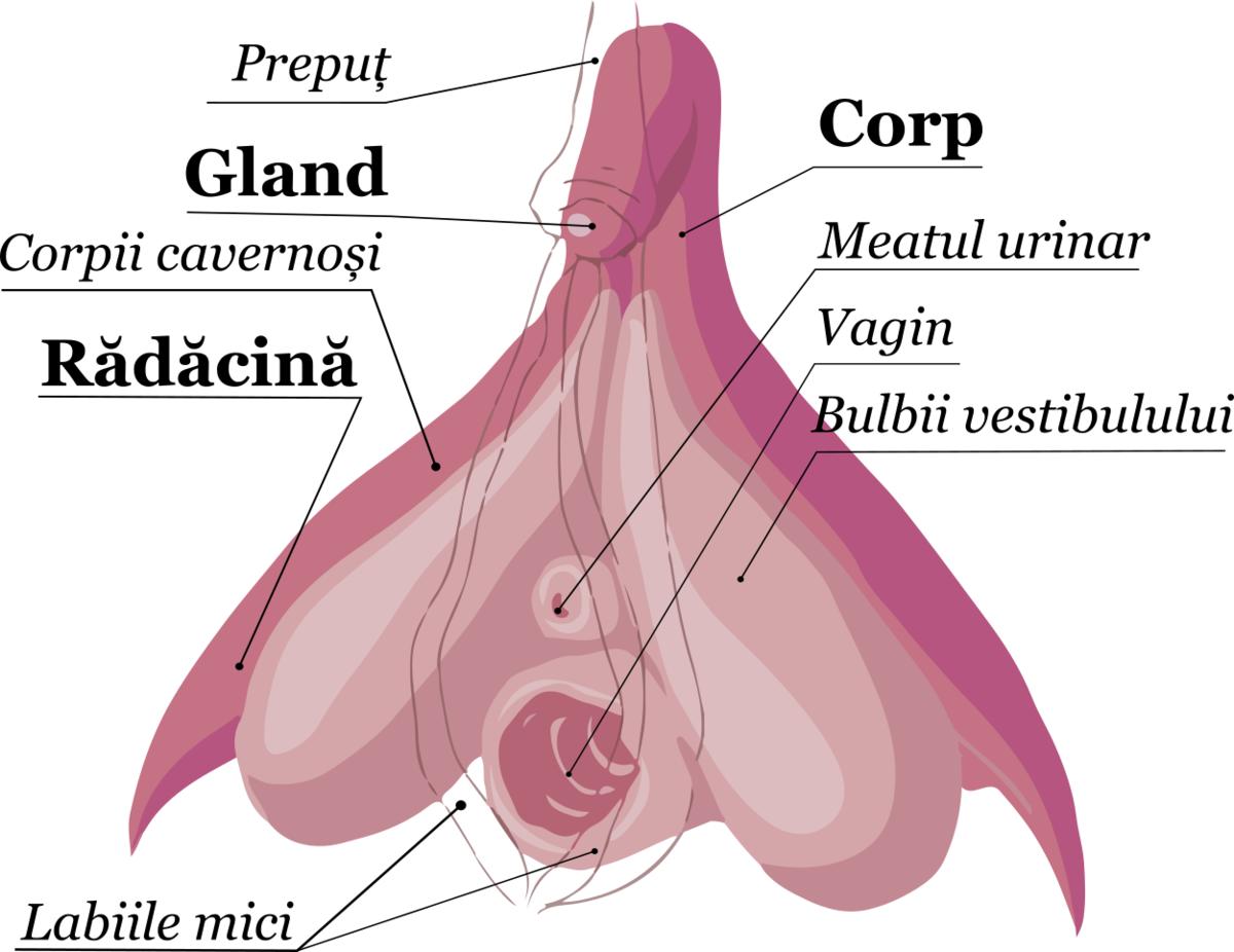 ce este erecția)