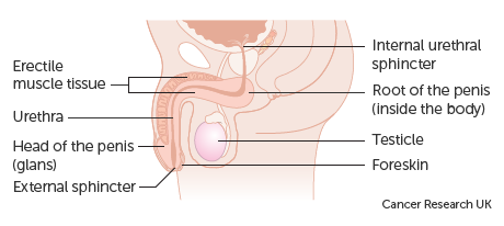 zone sensibile de pe penis