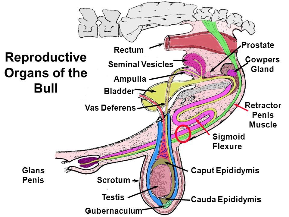retractor penis