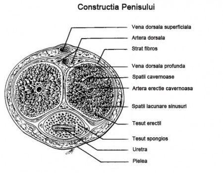 construcția penisului)