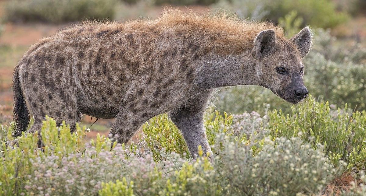 Clitorisul enorm al hienelor - Forumul Softpedia