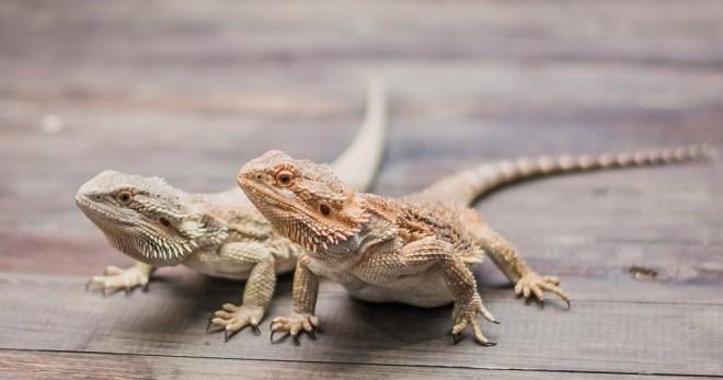 iguana are două penisuri
