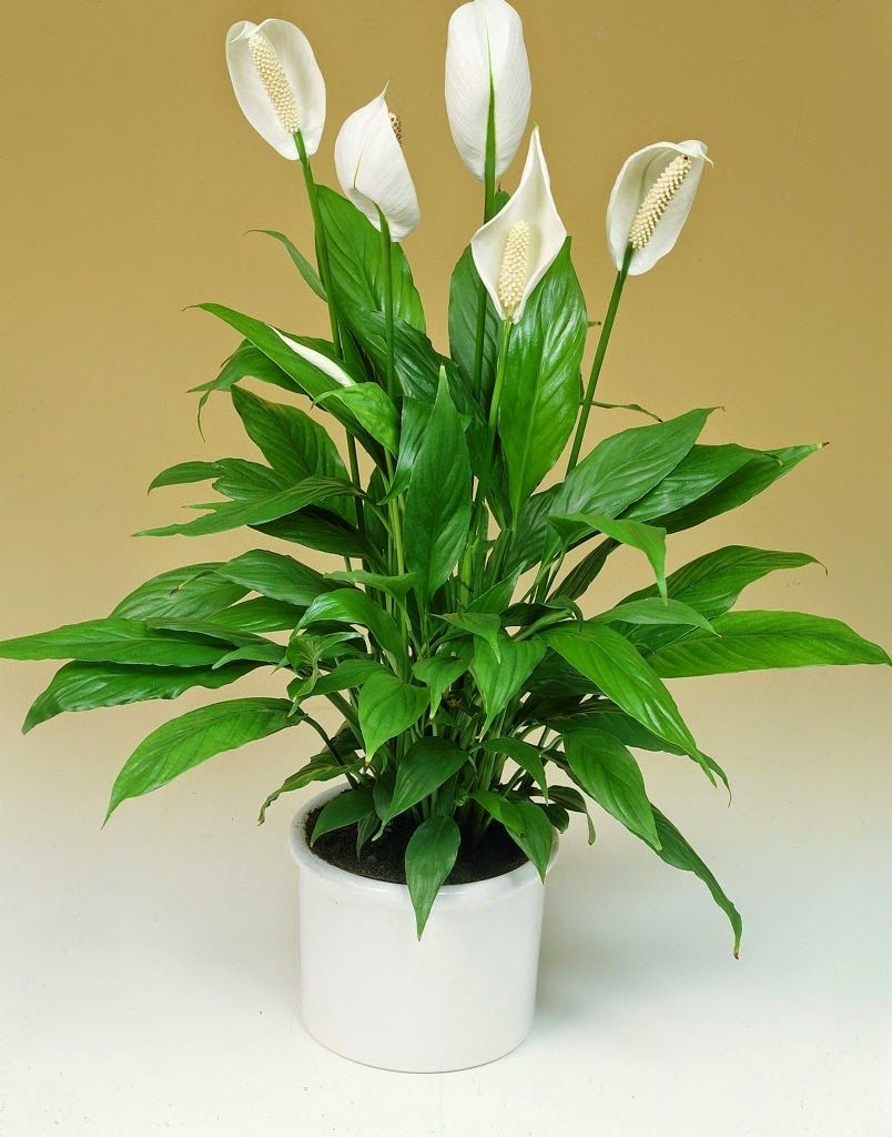 Cele mai bune plante care combat problemele sexuale masculine