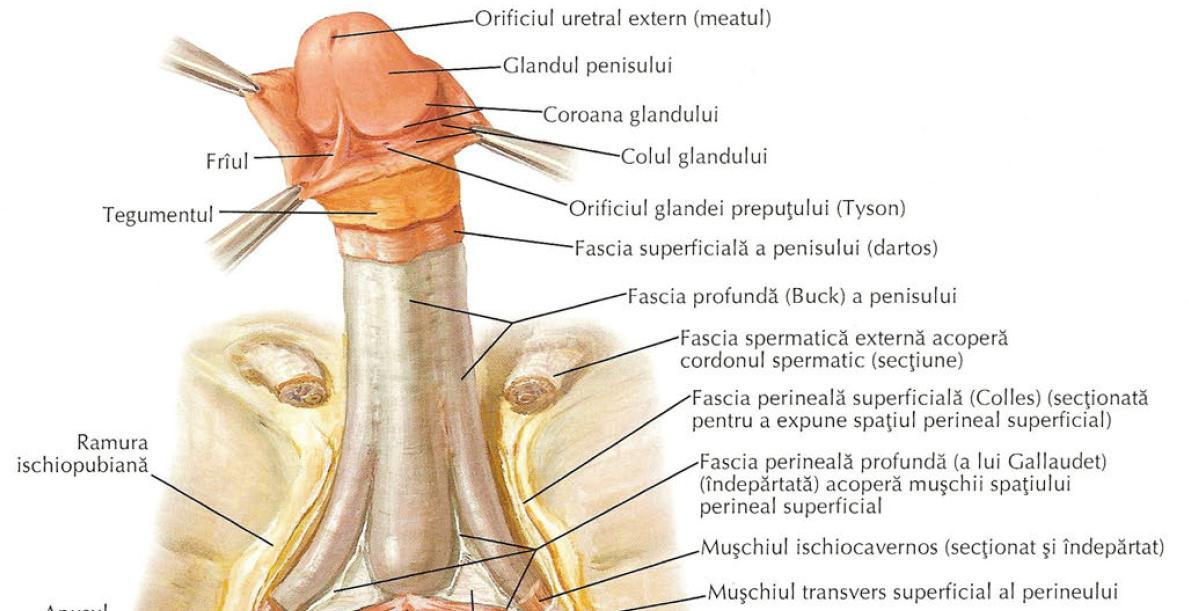 circumferinta penisului masculin