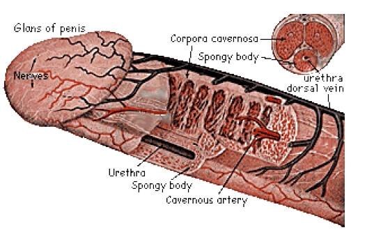 cum se tratează penisul și testiculele