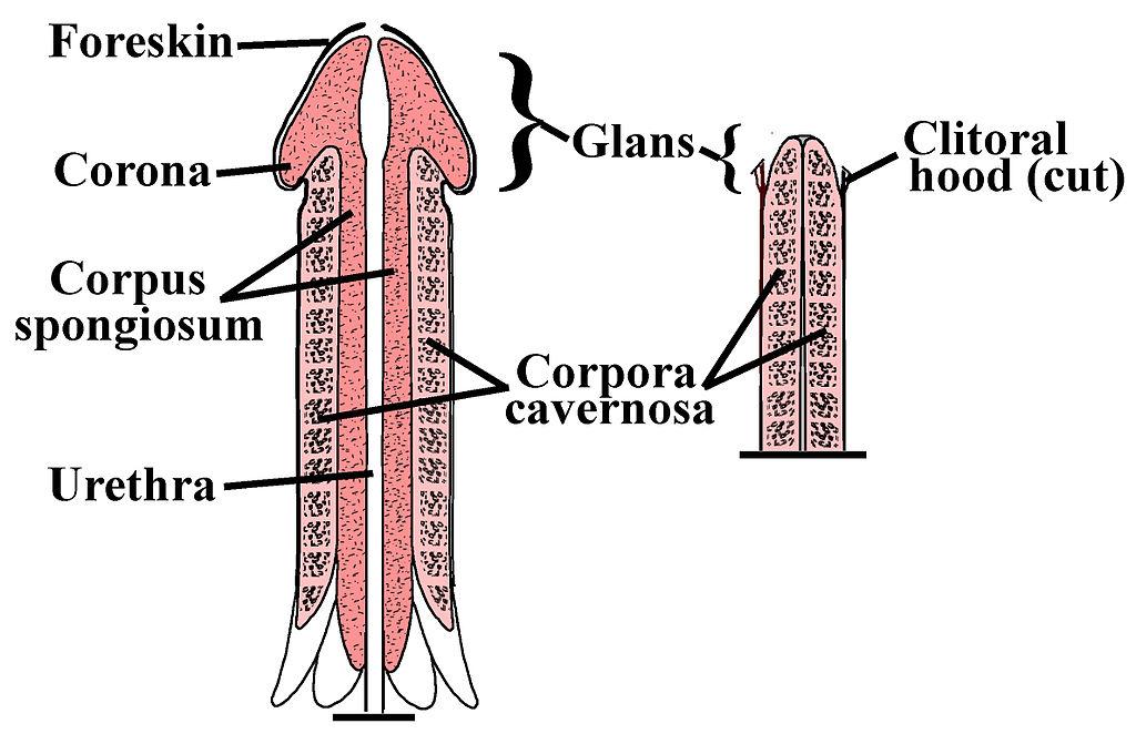 dimensiunea penisului supraponderală)