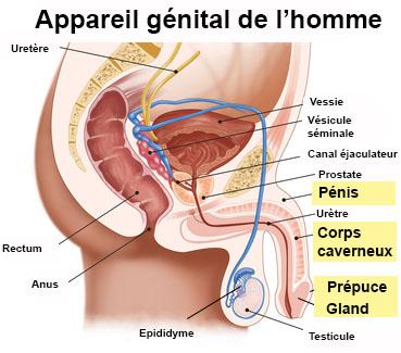 penis organ genital masculin
