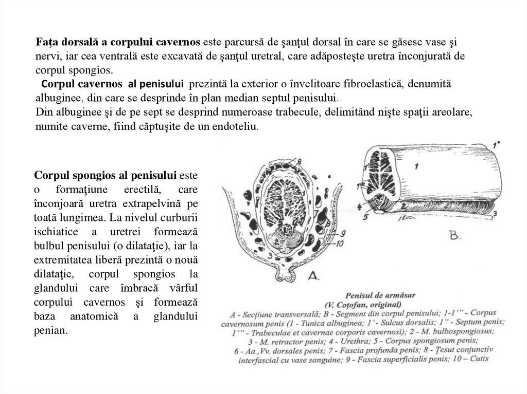 structura, forma și dimensiunea penisului