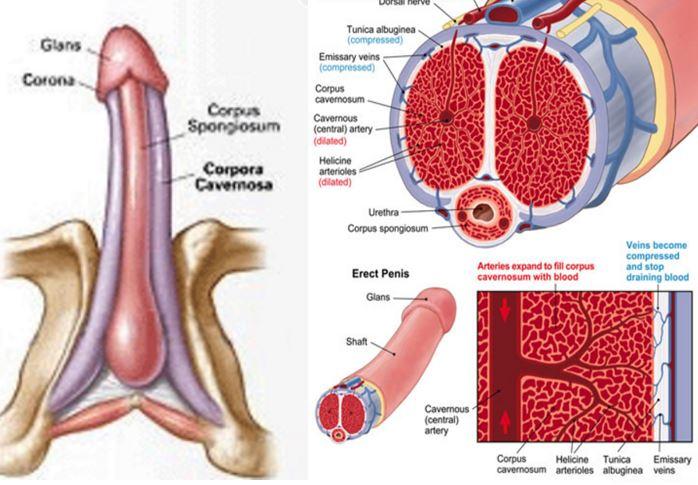 etapele penisului de excitare
