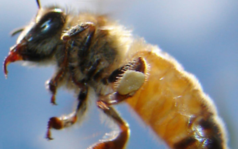 pentru o erecție podmore albină)
