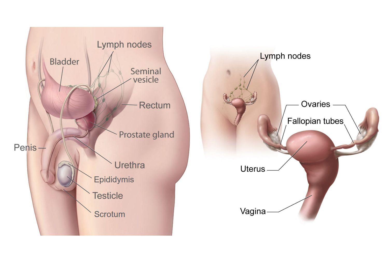 hormoni de creștere a penisului ce trebuie făcut pentru a prelungi penisul
