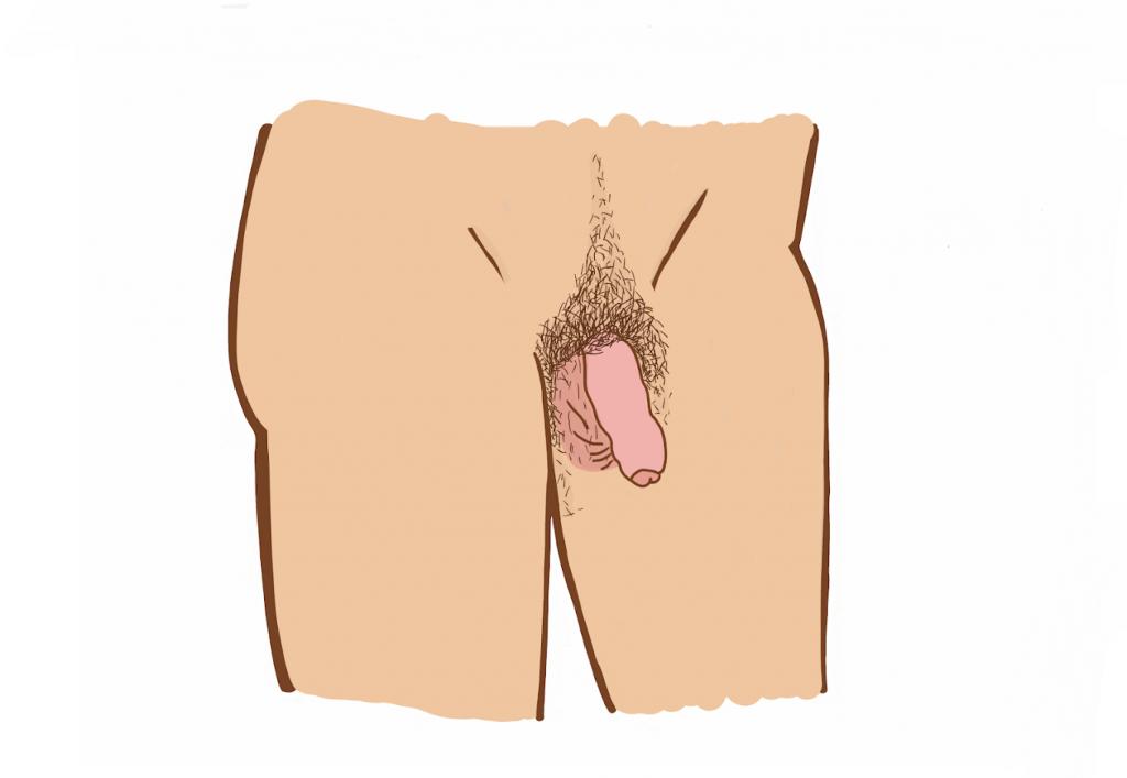 organ masculin înainte și după erecție)
