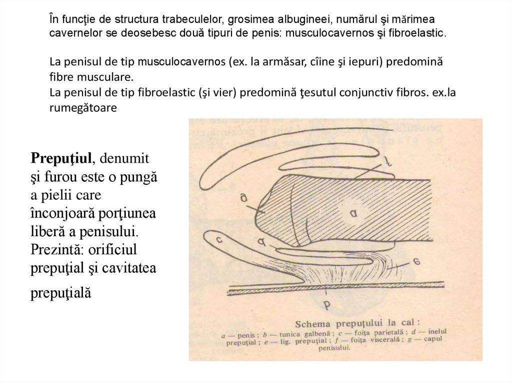 structura și aspectul penisului)