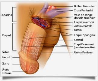 un penis care stă mereu în picioare