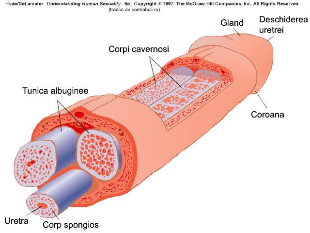 structura penisului