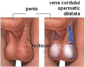 în timpul unei erecții, testiculul se retrage)