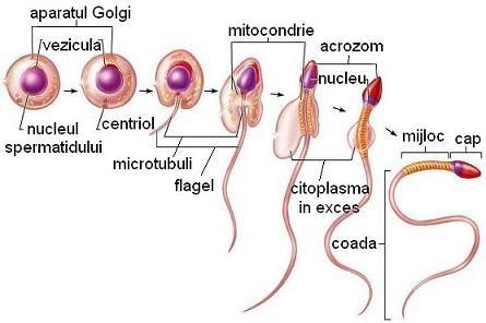 erecția organului genital masculin