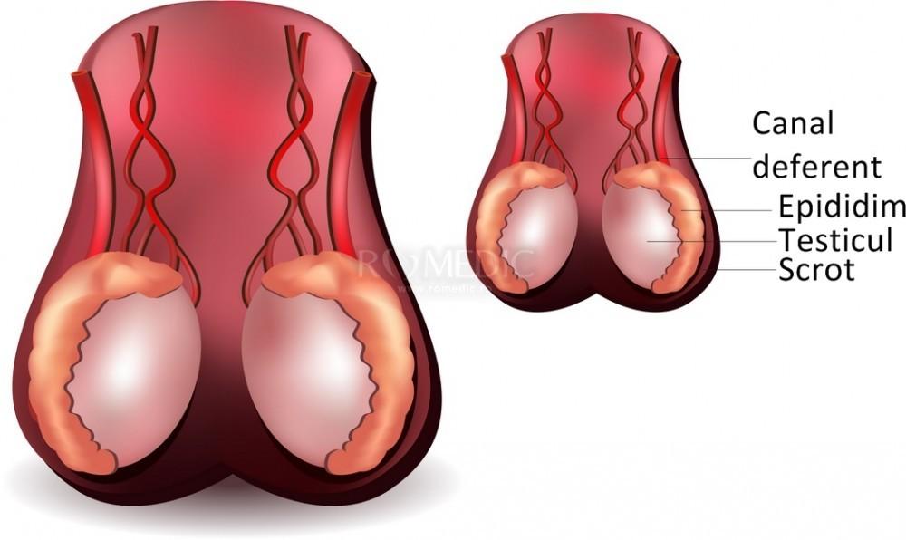 nașterea penisului și a testiculelor sistemul nervos sistemul nervos al penisului