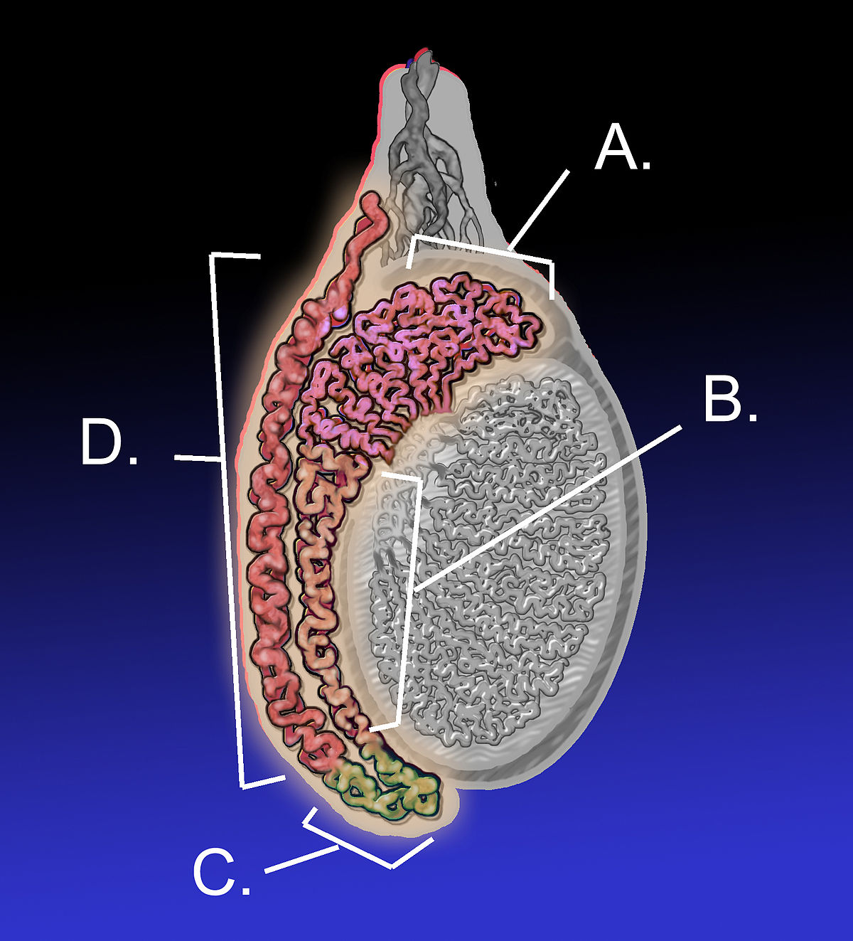 teste de dimensiune penis