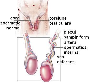 testiculele pot intra în penis